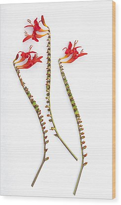 If Seahorses Were Flowers Wood Print by Carol Leigh