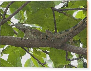 Iguana In Tree Wood Print by Dan Friend