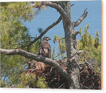 Immature Bald Eagle Wood Print by Brenda Jacobs