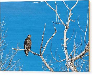 Immature Bald Eagle Wood Print