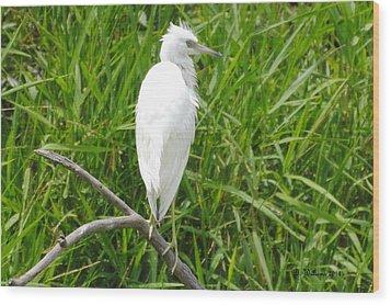 Immature Little Blue Heron On Watch Wood Print