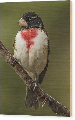 Immature Male Rose-breasted Wood Print