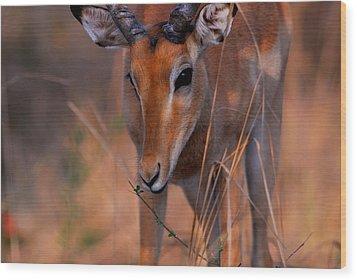 Impala Grazing Wood Print by Stefan Carpenter