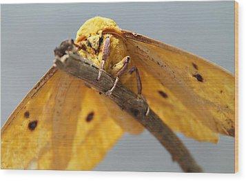 Imperial Moth Wood Print