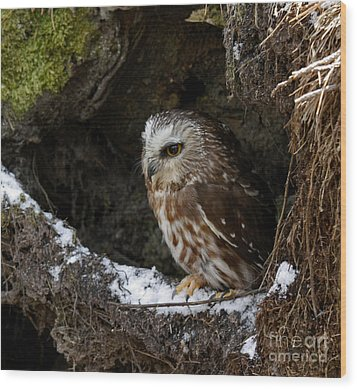 In Hiding Saw Whet Owl In A Hollow Stump Is Part Of The Birds Of Prey Fine Art Raptor Wildlife Photo Wood Print by Inspired Nature Photography Fine Art Photography