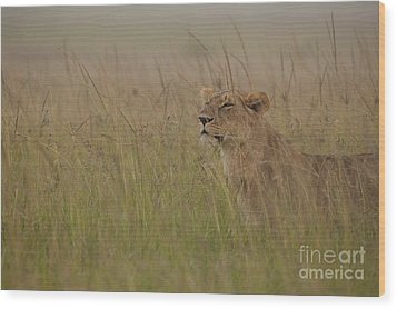 In Search Of Cubs Wood Print by Ashley Vincent