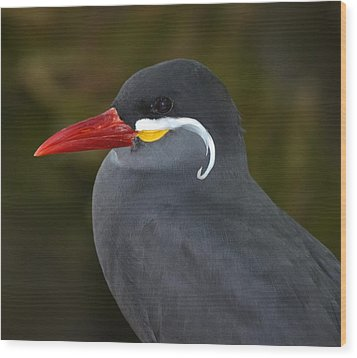 Inca Tern  Wood Print by Richard Bryce and Family