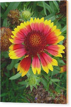 Indian Blanket Flower Wood Print by Sue Melvin