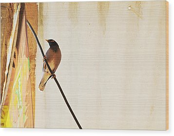 Indian Myna Comes To Dinner Wood Print by Kantilal Patel