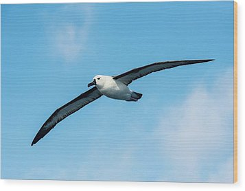 Indian Ocean Yellow-nosed Albatross Wood Print by Peter Chadwick