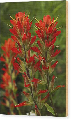 Indian Paintbrush Wood Print by Alan Vance Ley