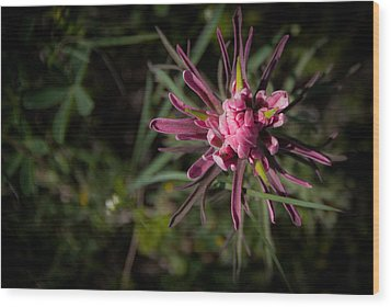 Indian Paintbrush  Wood Print by Dee Dee  Whittle