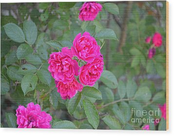 Indiana Roses Wood Print by Alys Caviness-Gober