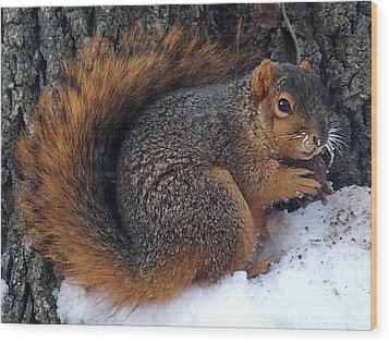Indiana Squirrel In Winter With Nut Wood Print by Steve Archbold