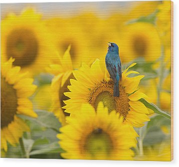 Indigo Bunting On Sunflower Wood Print