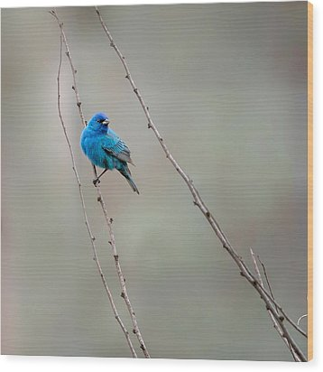 Indigo Bunting Square Wood Print by Bill Wakeley