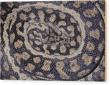 Inland Carpet Python  Wood Print