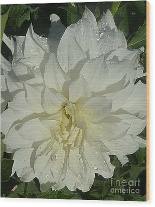 Innocent White Dahlia  Wood Print by Susan Garren