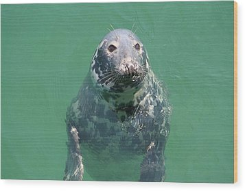 Inquisitive Seal Wood Print by Jim Gillen