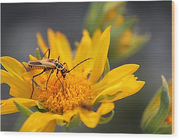 Insect On Cowpen Daisy Wood Print