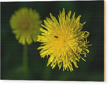 Insects On A Dandelion Flower - Featured 3 Wood Print by Alexander Senin