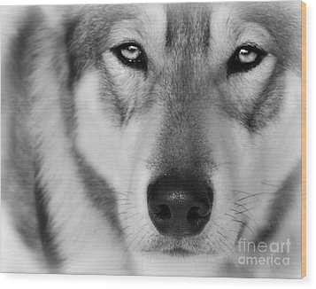 Intence Sled Dog Black And White Wood Print by Lila Fisher-Wenzel