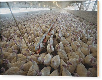 Intensive Turkey Farm Wood Print by Peter Menzel