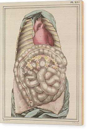 Internal Body Organs, 1825 Artwork Wood Print by Science Photo Library