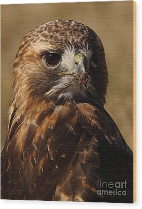 Red Tailed Hawk Portrait Wood Print by Robert Frederick