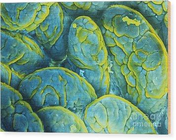 Intestinal Microvilli Sem Wood Print by Spl