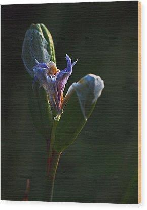 Iris Emerging  Wood Print