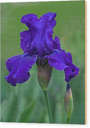 Iris Majesty Wood Print by Robert Pilkington