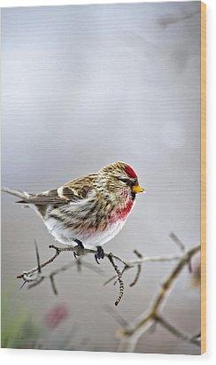 Irruptive Bird Common Redpoll Wood Print by Christina Rollo