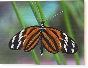Ismenius Tiger Butterfly Wood Print by Cheryl Cencich