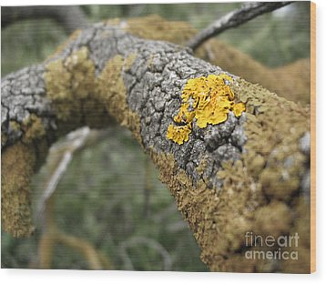 Isolated Lichen Wood Print
