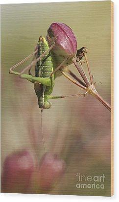 Isophya Savignyi - Bush Cricket Wood Print by Alon Meir