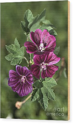 Ivy-leafed Geraniums   Wood Print by Joy Watson