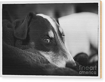 Jack Russell Terrier Portrait In Black And White Wood Print by Natalie Kinnear