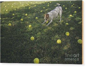 Jack Russell Terrier Tennis Balls Wood Print