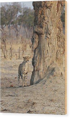 Jaguar In Hwange National Park Wood Print by BC Imaging