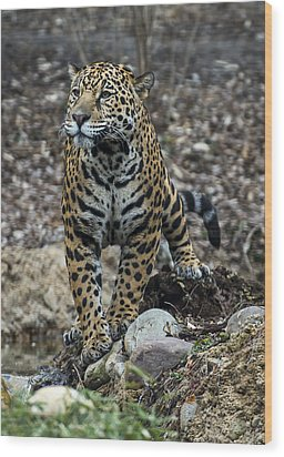 Jaguar Wood Print by Phil Abrams