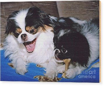 Wood Print featuring the photograph Japanese Chin Dogs Hanging Out And Telling Stories by Jim Fitzpatrick