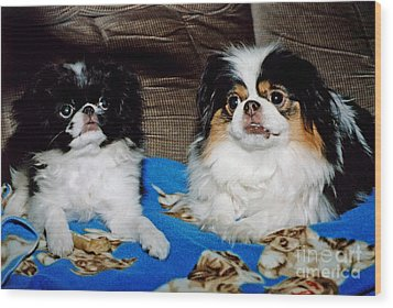 Wood Print featuring the photograph Japanese Chin Dogs Looking Guilty by Jim Fitzpatrick