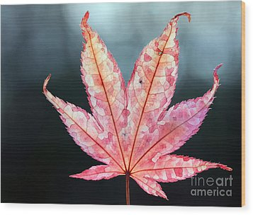 Wood Print featuring the photograph Japanese Maple Leaf - 1 by Kenny Glotfelty