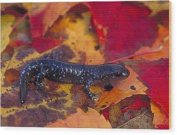 Jefferson Salamander Wood Print by Paul J. Fusco