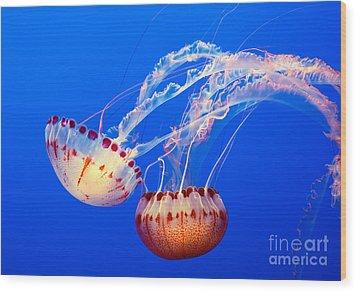 Jelly Dance - Large Jellyfish Atlantic Sea Nettle Chrysaora Quinquecirrha. Wood Print by Jamie Pham