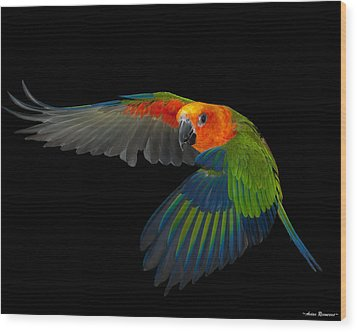 Wood Print featuring the photograph Jenday In Flight by Avian Resources