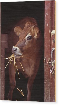 Jersey Cow Wood Print by Skip Willits