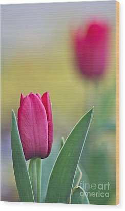 Jerusalem Tulip 2 Wood Print by Joel Loftus