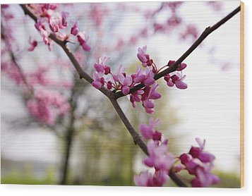 Judas Tree Blossom Wood Print by John Holloway